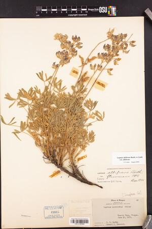 Lupinus albifrons image