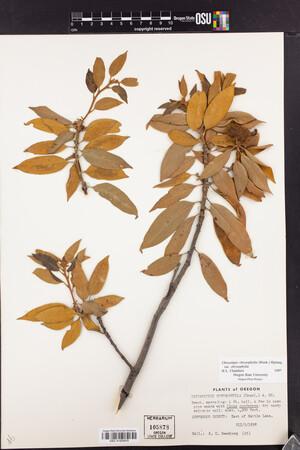 Chrysolepis chrysophylla var. chrysophylla image