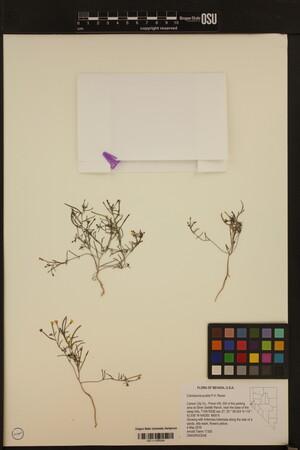 Image of Camissonia pusilla
