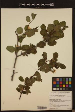 Image of Amelanchier alnifolia