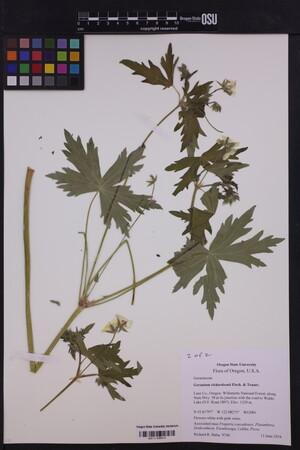 Image of Geranium richardsonii