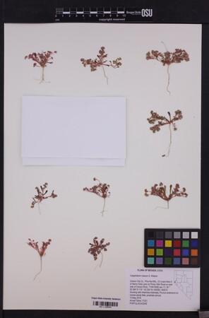 Image of Calyptridium roseum