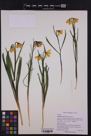 Image of Fritillaria pudica