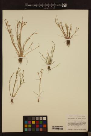 Juncus bufonius var. bufonius image