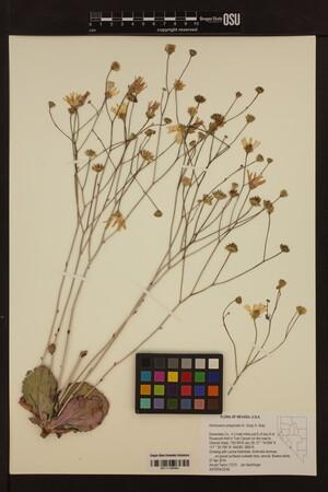 Image of Atrichoseris platyphylla