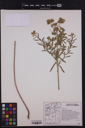 Image of Euphorbia esula