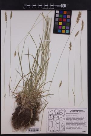 Image of Anthoxanthum odoratum