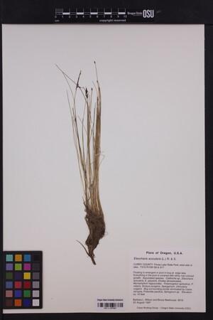Image of Eleocharis acicularis