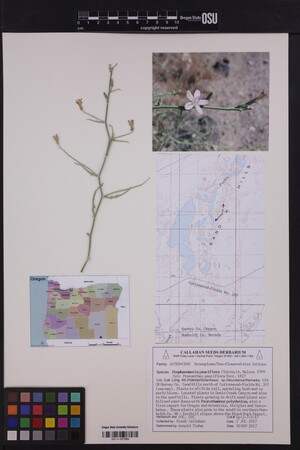 Image of Stephanomeria pauciflora