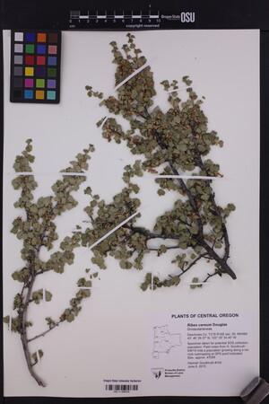 Image of Ribes cereum
