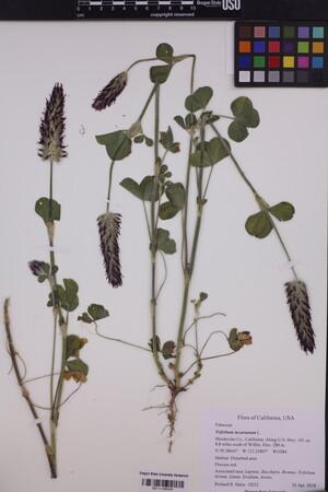 Image of Trifolium incarnatum