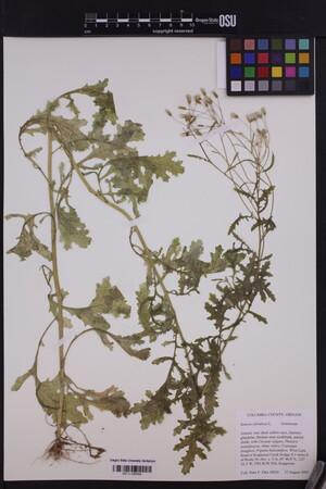 Image of Senecio sylvaticus