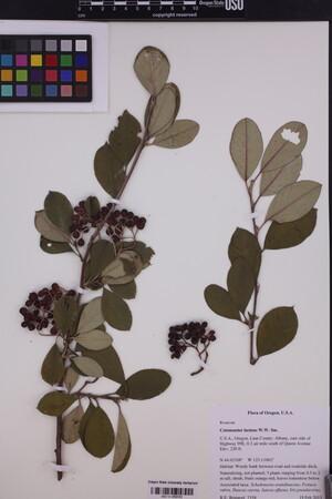 Image of Cotoneaster lacteus