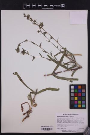Image of Anisocarpus madioides