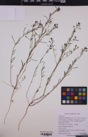 Image of Camissonia strigulosa