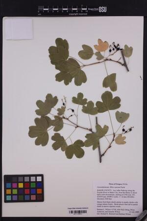 Image of Ribes aureum