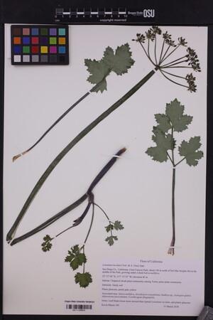 Image of Lomatium lucidum