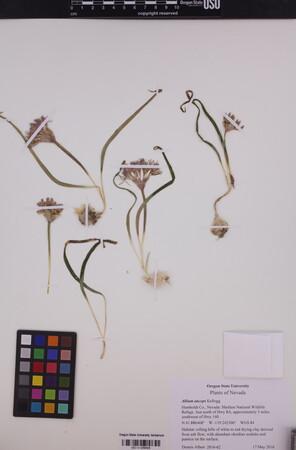Allium anceps image