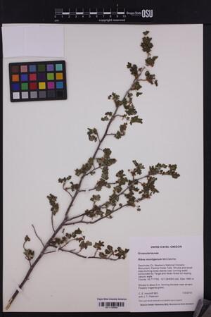 Image of Ribes montigenum