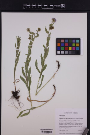 Image of Erigeron peregrinus