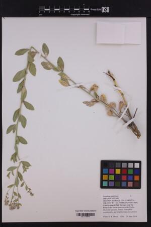 Image of Lepidium latifolium