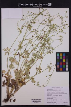 Image of Ranunculus hebecarpus