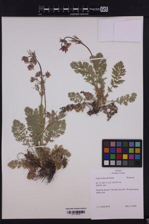 Image of Geum triflorum