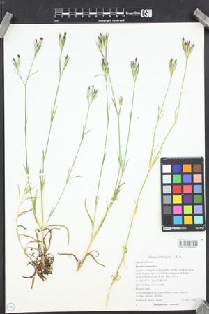 Image of Dianthus armeria