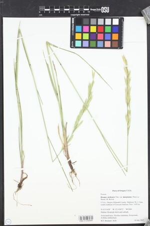Bromus carinatus var. marginatus image