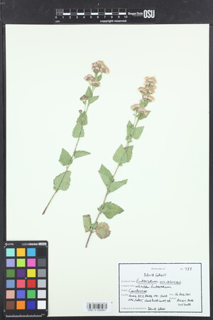 Image of Ageratina occidentalis