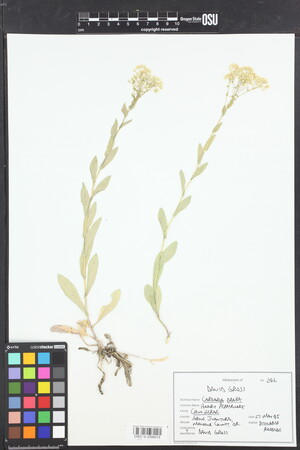 Image of Lepidium draba