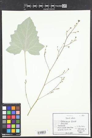 Image of Adenocaulon bicolor