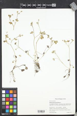 Image of Ranunculus parviflorus