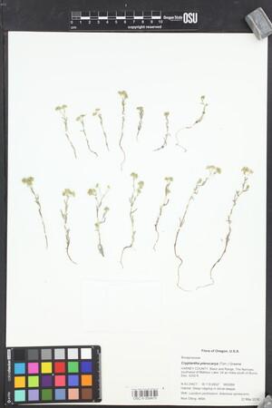 Image of Cryptantha pterocarya