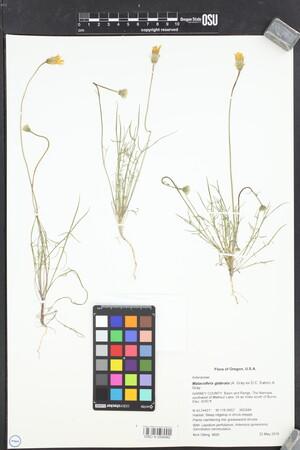 Image of Malacothrix glabrata