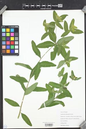 Image of Euphorbia oblongata