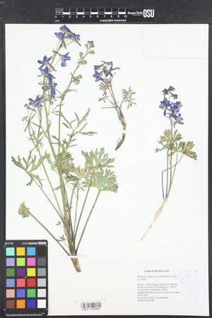 Image of Delphinium andersonii