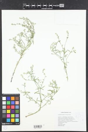 Image of Cryptantha fendleri