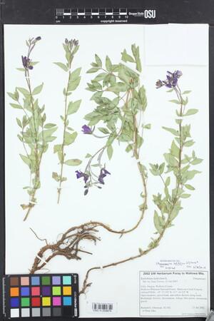 Image of Chamerion latifolium