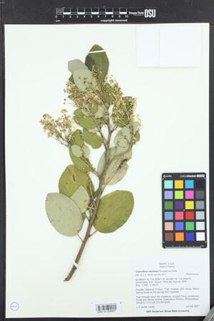 Image of Ceanothus velutinus