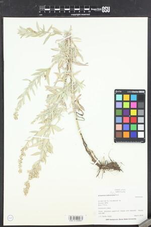 Image of Artemisia ludoviciana
