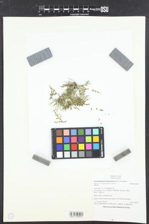 Image of Arceuthobium americanum
