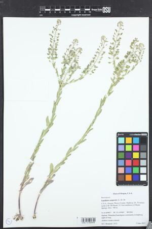Image of Lepidium campestre