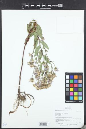 Image of Eurybia integrifolia