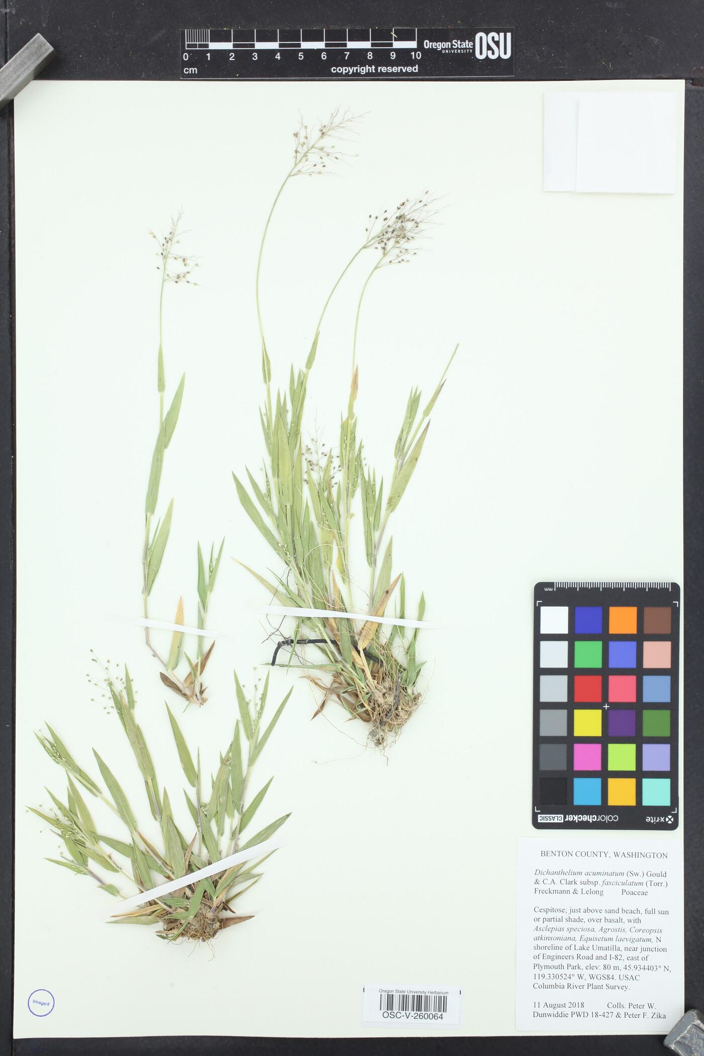Panicum acuminatum var. lindheimeri image
