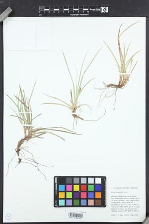 Image of Carex brainerdii