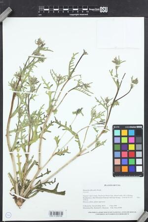 Image of Mentzelia albicaulis
