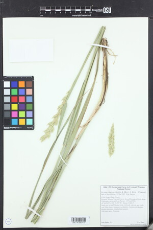 Image of Elymus cinereus