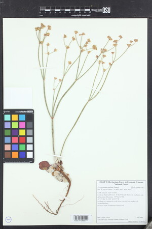 Image of Eriogonum nudum