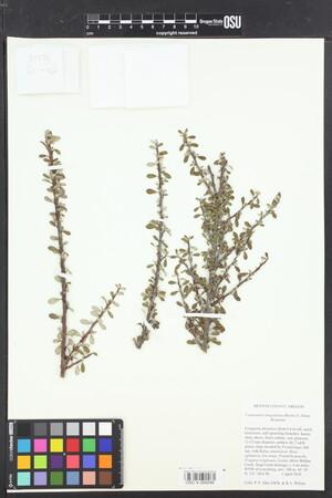 Image of Cotoneaster integrifolius